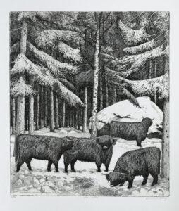 Etsning Highland cattle, winter av Eva Holmér Edling
