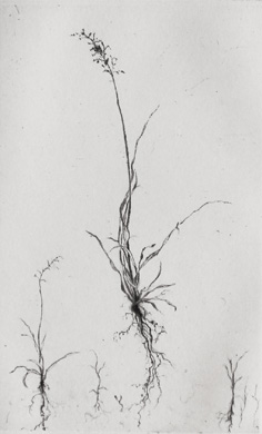 Portrait of Grass - Drypoint by Lars Nyberg.